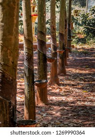 angkor thom, cambodia - 11 29, 2018: rubber extraction