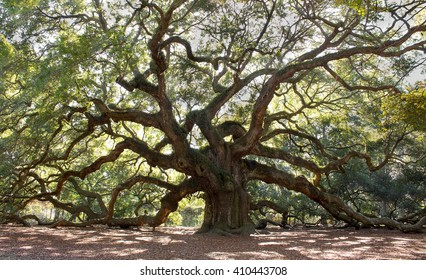 Angle Oak Tree,  Majestic live oak angle tree in Charleston South Carolina