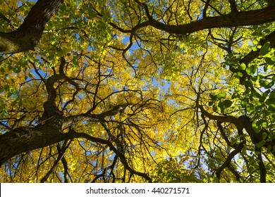 Angle, in plain nadir, the tops of mulberry trees in autumn