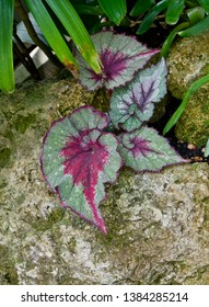 Angle Wing Begonia Flower on a Rock