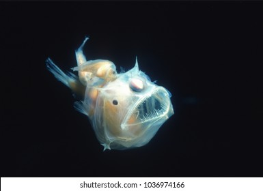 Angler fish, Edridolychnus schmidti. The larger female has two smaller parasitic males attached to her body which fertilise her eggs.
