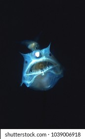 Angler fish with large mouth and teeth. Parasitic male attached to her body