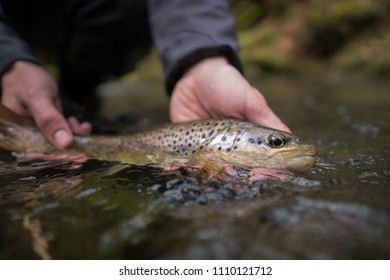 Angler holding brown trout (Salmo trutta fario) in water