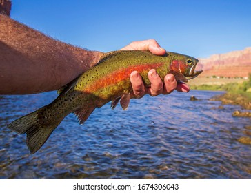 Angler holding a vibrant colored Rainbow trout caught fly fishing on Colorado river at Lee's Ferry AZ.