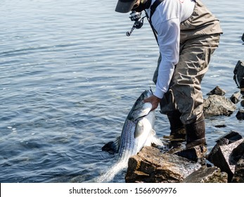 angler holds striped bass in canal