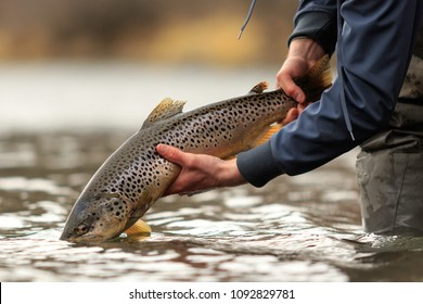 An angler pulling a Brown Trout out of a river
