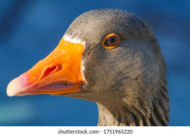 Angles headshot of a graylag goose