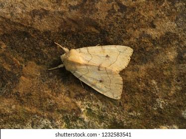 Angle-striped Sallow -  Enargia paleacea