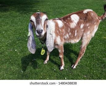Obrazy, zdjęcia stockowe i ilustracje wektorowe: Goat