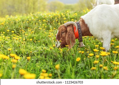 Anglo Nubian goat eating grass on meadow full of dandelions in afternoon sunset light.