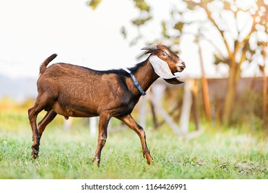 Goat Angle Images, Stock Photos & Vectors | Shutterstock