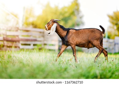 Anglo Nubian goat on beautiful grass or meadow in summer time.