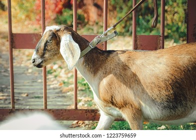 Anglo-Nubian goat, close-up.