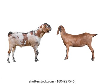 Anglo-Nubian Goat female and male Isolated on white background.