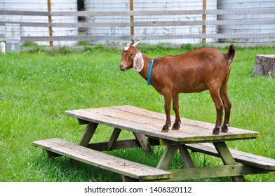 An Anglo-Nubian goat perched atop a picnic table in the middle of a fenced, green pasture. Also called a dairy goat, the farm animal features a short brown fur coat, long, floppy ears and short horns.