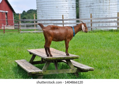 An Anglo-Nubian goat stands atop a picnic table in the middle of a fenced pasture.  Also called a dairy goat, it features long, floppy ears and short horns. Silos & outbuildings in the background.