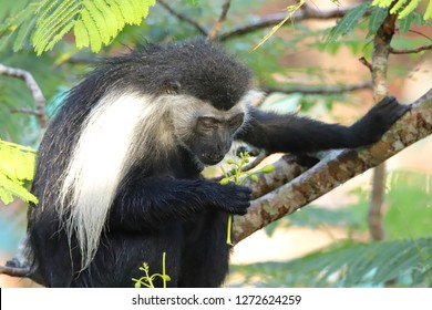 The Angolan colobus monkey looks at a plant in his hand