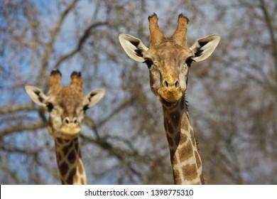 Angolan giraffe (Giraffa camelopardalis angolensis), also known as Namibian giraffe.