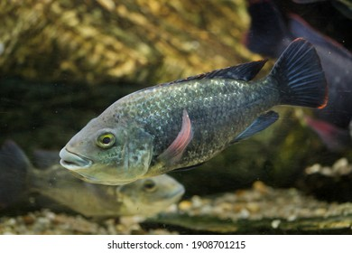 Angolan tilapia (Oreochromis angolensis). Freshwater fish.