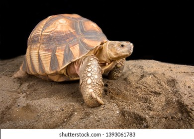 The Angonoka tortoise (Astrochelys yniphora) is the rarest tortoise species in the world endemic to a tiny area of Madagascar.