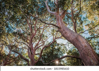 Angophora red gum trees Australian bush
