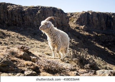 Angora goat are feeding in the Maluti mountains, Drakensberg, Lesotho. Winter in Africa.  Wool and mohair industry. Artistic retouching.