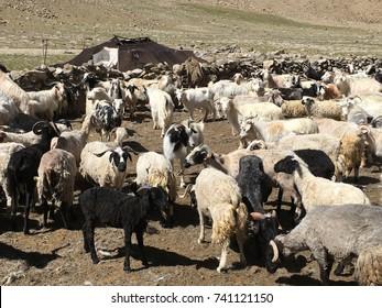 angora goat group - Farmland in LADAKH, INDIA