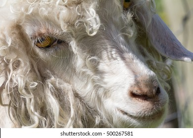 angora goats face and head detail showing the eye and nose