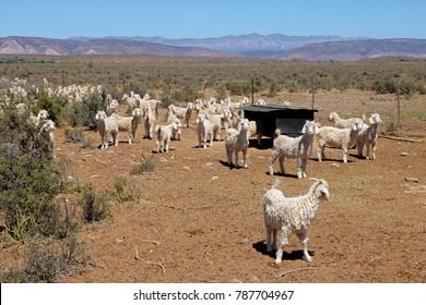 Angora goats on a rural African free-range farm