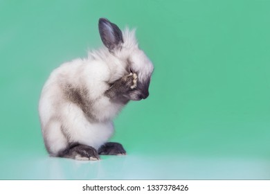 Angora rabbit with head in paws washing on turquoise or cyan or mint  background.  Cute gray young rabbit seen from the front grooming itself and hiding its face.
