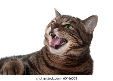 Hissing Cat Images Stock Photos Amp Vectors Shutterstock