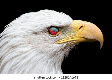 Angry American bald eagle. Zombie looking bird with the eye reflecting red light making it look like an evil possessed animal. Actual blood vessels are those of the nictitating membrane eyelid.