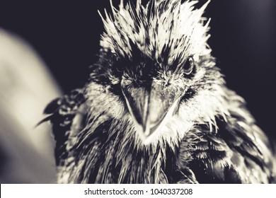 An angry Australian Kookaburra looking down the camera
