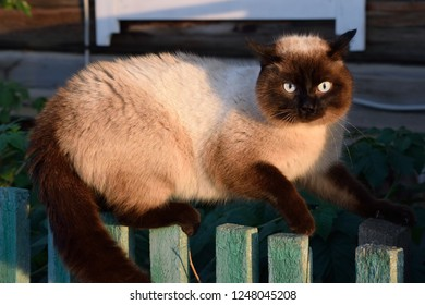 Angry Balinese Cat Assumes Hostile Pose on a Fence After Scaring Away Another Cat (East Siberia, Russia)