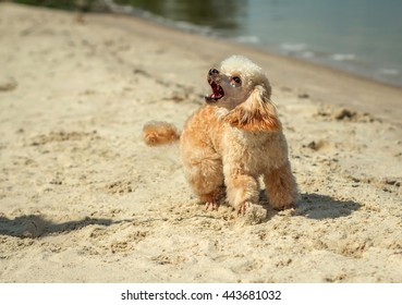 angry barking dog attack on the beach. doggy grin.