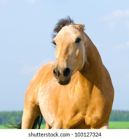 Angry bay horse runs in front view
