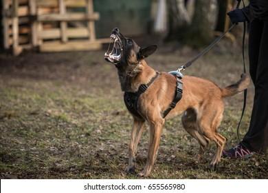 Angry belgian shepherd malinois barking