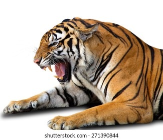 Angry bengal tiger isolated on white