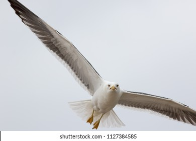Angry bird. Grumpy looking seagull searching to steal food. Seaside menace gull was stealing food from holiday-makers and is looking at the camera with a mean face. Funny animal meme image.