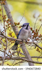 A angry blue jay squawking at the morning sun and perch in a crepe myrtle tree.