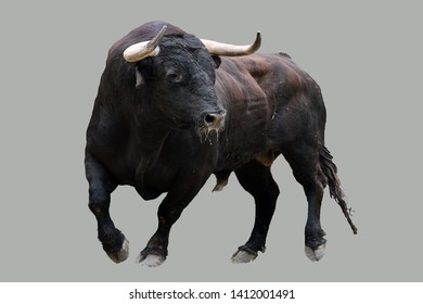 Angry and brave spanish bull