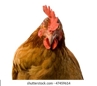 Angry brown chicken looking at camera. Isolated on white background.