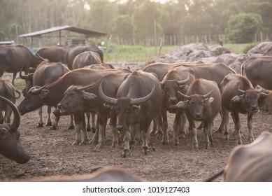 an angry buffalo