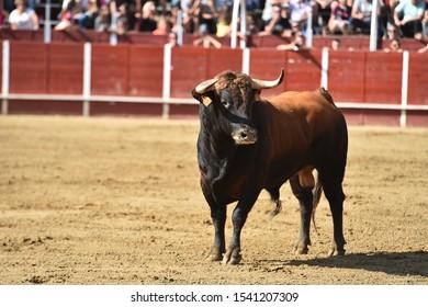 Angry bull in spanish bullring
