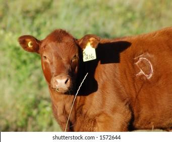 Angry Calf