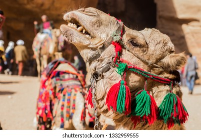 angry camel desert animal emotion interesting travel photography in Jordan Middle East Arabic country