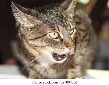 Angry cat, portrait of angry cat. Domestic animal