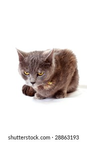 angry cat  sits on white background