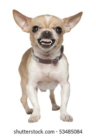 Angry Chihuahua growling, 2 years old, in front of white background