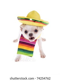 Angry Chihuahua puppy dog wearing a colorful mexican serape blanket with a bright yellow sombrero, looking funny baring teeth with mouth open, isolated on white.